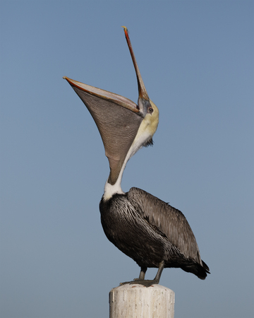 Brown Pelican with a wide open pouch - Cedar Key, Florida Banco de Imagens - 92212205