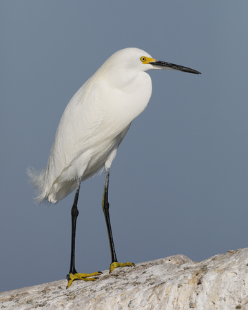 Snowy Egret (Egretta thula) perched on a concrete seawall - Pinellas County