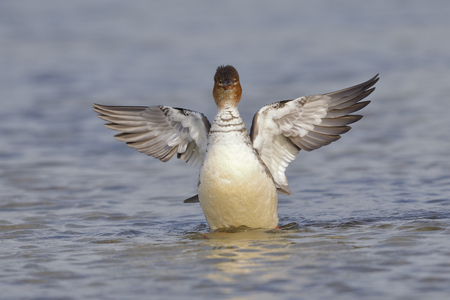Female Red-breasted Merganser (Mergus serrator) flapping its wings after preening - Pinella County, Florida Stock Photo