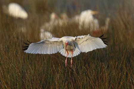 화이트이 비스 (Eudocimus albus) 습지 - 메릿 섬 야생 동물 피난처, 플로리다에 착륙 스톡 콘텐츠