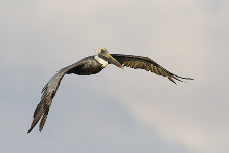 Brown Pelican (Pelecanus occidentalis) in flight over the Gulf of Mexico - Pinellas County, Florida