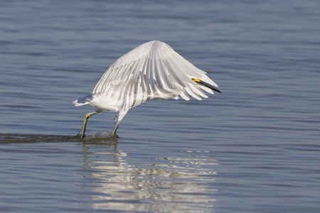 A Snowy Egret (Egretta thula) forms a canopy with its wings to create an area of shade to attract fish - Pinellas County, Florida 免版税图像