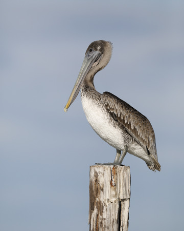 Immature Brown Pelican (Pelecanus occidentalis) perched on a dock piling - Estero Island, Florida Reklamní fotografie