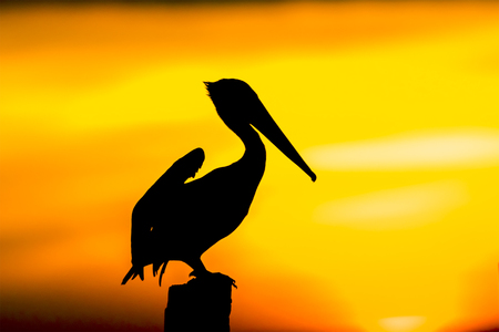 Brown Pelican (Pelecanus occidentalis) perched on a dock piling at sunset - Estero Island, Florida