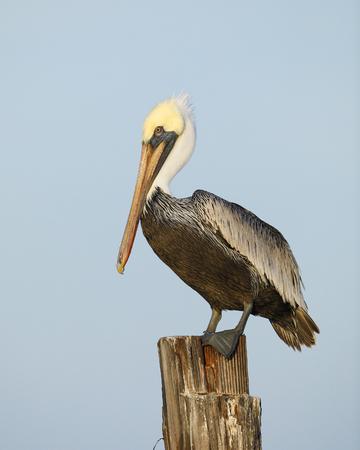 Brown-Pelikan (Pelecanus occidentalis) hockte auf einer Dockstapelung - Estero Island, Florida