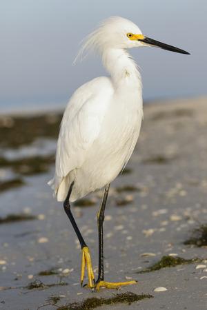 Snowy Egret (Egretta thula) - Estero Island, Florida 写真素材