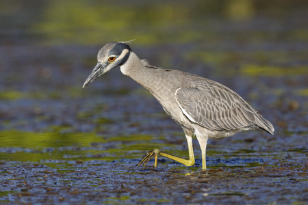 Yellow-crowned Night Heron (Nyctanassa violacea) stalking a crab in a shallow lagoon - Fort Desoto Park, Florida