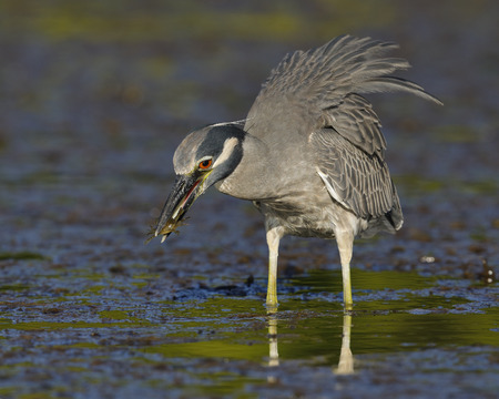 Yellow-crowned Night Heron (Nyctanassa violacea) catching a crab in a shallow lagoon - Fort Desoto Park