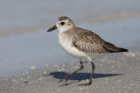 Black-bellied Plover (Pluvialis squatarola) foraging on a Florida beach in winter - Fort DeSoto Park Stock Photo