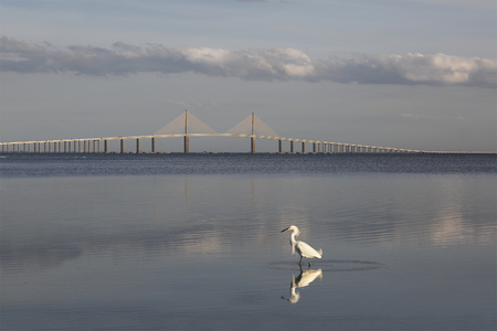 Snowy Egret (Egretta thula) with the Sunshine Skyway Bridge in the background - Fort DeSoto, Florida