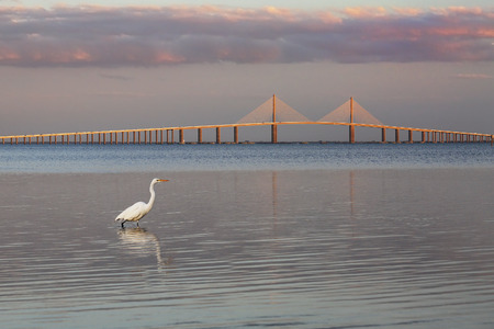 Great Egret (Ardea alba) at twilight with the Sunshine Skyway Bridge in the background - Fort DeSoto Park 免版税图像 - 94320054