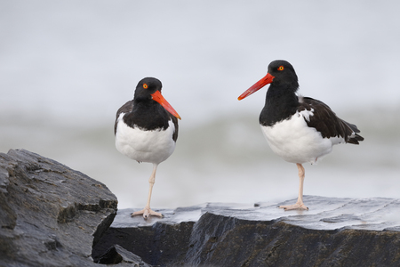 Pair of American Oystercatchers (Haematopus palliatus) perched on some rocks - Honeymoon Island State Park, Florida