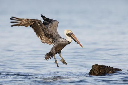 Brown Pelican (Pelecanus occidentalis) landing on a rock off a Florida beach
