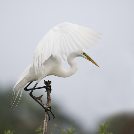 Great Egret (Ardea alba) perched on a dead branch preparing to take flight - Venice, Florida