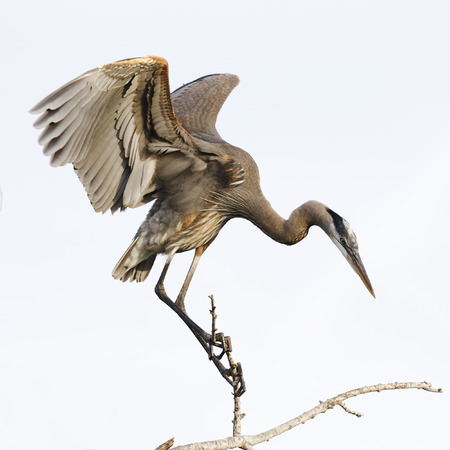 Great Blue Heron (Ardea herodias) perched on a branch - Venice, Florida