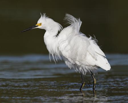 Snowy Egret (Egretta thula) in breeding plumage - Pinellas County, Florida