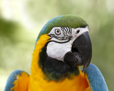 Closeup of Blue and Gold Macaw Stock Photo