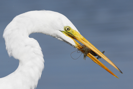 Great Egret (Ardea alba) with a crawfish in its beak- Pinellas County, Florida Stock Photo - 95756553