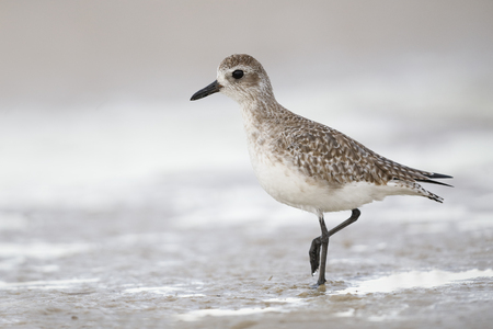 Black-bellied Plover (Pluvialis squatarola) in winter plumage - Pinellas County, Florida