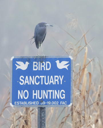 Little Blue Heron (Egretta caerulea) perched on a