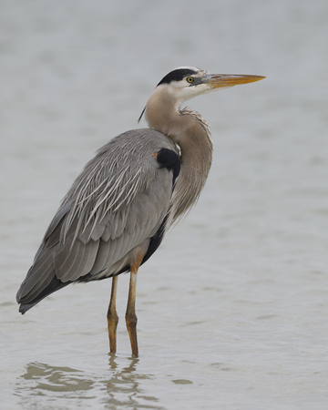 Great Blue Heron (Ardea herodias) wading in a shallow lagoon - Pinellas County, Florida