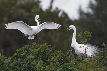 Great Egret (Ardea alba) landing next to its nesting mate - Venice, Florida