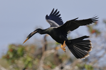 Male anhinga in flight over a wooded pond - Venice, Florida Stok Fotoğraf
