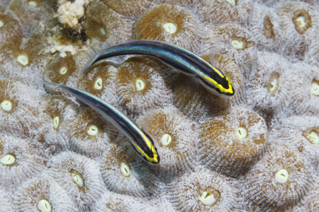 Pair of Sharknose Gobies (Elacatinus evelynae) on a coral head - Bonaire, Netherlands Antilles