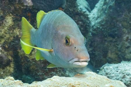 Schoolmaster (Lutjanus apodus) swimming over a coral reef - Bonaire, Netherlands Antilles