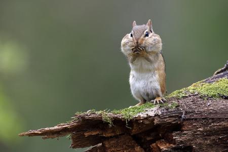 Östlicher Streifenhörnchen (Tamias striatus), der auf einem moosigen Baumstamm mit seinen Backentaschen voller Nahrung steht - Lambton Shores, Ontario, Kanada