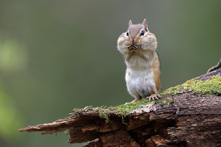 Eastern Chipmunk (Tamias striatus) standing on a mossy log with its cheek pouches full of food - Lambton Shores, Ontario, Canada Stock Photo - 101821637