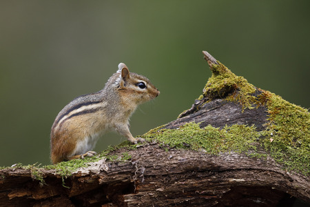Eastern Chipmunk (Tamias striatus) sitting on a moss-covered log - Lambton Shores, Ontario, Canada Foto de archivo