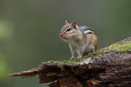 Eastern Chipmunk (Tamias striatus) - with its cheek pouches full of food sits on a mossy log - Lambton Shores, Ontario, Canada
