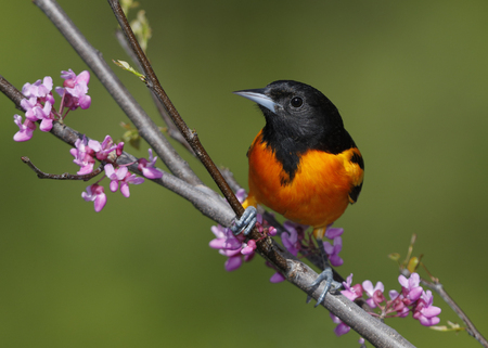 Male Baltimore Oriole (Icterus galbula) perched in an Eastern Redbud tree - Lambton Shores, Ontario, Canada Stok Fotoğraf