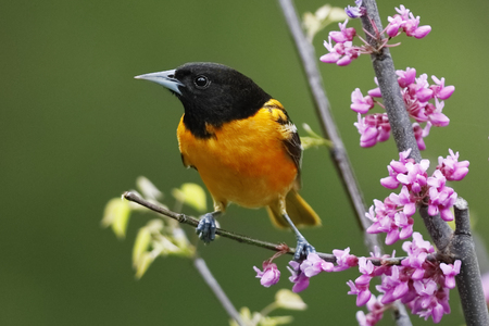 Male Baltimore Oriole (Icterus galbula) perched in a flowering Eastern Redbud - Ontario, Canada Stock fotó - 104617420