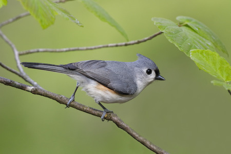 Tufted Titmouse (Baeolophus bicolor) perched in witch hazel - Grand Bend, Ontario, Canada 스톡 콘텐츠