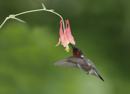 Male Ruby-throated Hummingbird (Archilochus colubris) feeding at a Wild Columbine flower - Ontario, Canada
