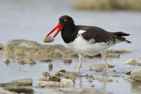 American Oystercatcher (Haematopus palliatus) catching a clam in a rocky tidal pool - Bonaire