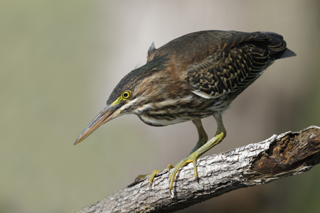 Juvenile Green Heron (Butorides virescens) stalking its prey  from a branch overhanging the water - Ontario, Canada