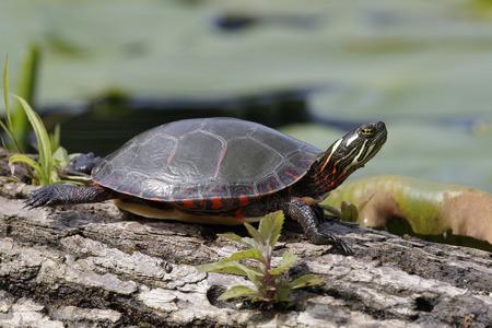 Midland Painted Turtle (Chrysema picta marginata) basking on a log - Pinery Provincial Park, Ontario, Canada Stock Photo