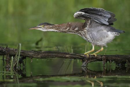Juvenile Green Heron (Butorides virescens) balancing on a branch overhanging the water - Ontario, Canada Banco de Imagens