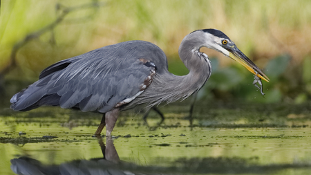 Great Blue Heron (Ardea herodias) eating a green frog at the edge of a river - Ontario, Canada 版權商用圖片
