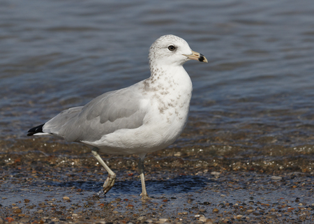 Ring-billed Gull (Larus delawarensis) foraging on a Lake Huron beach - Ontario, Canada