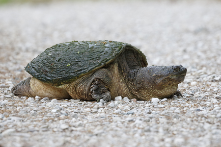 Female Snapping Turtle (Chelydra serpentina) digging a nest in a gravel driveway - Ontario, Canada Imagens
