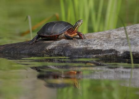 Midland Painted Turtle (Chrysema picta marginata) basking on a log - Ontario, Canada