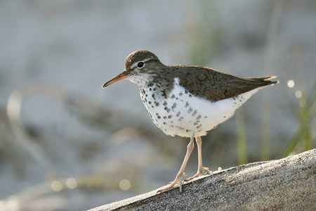Spotted Sandpiper (Actitis macularius) walking along a piece of driftwood on a Lake Huron beach - Ontario, Canada