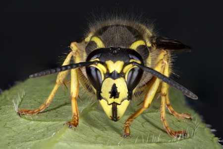Closeup of a Yellowjacket perched on a leaf - Ontario, Canada