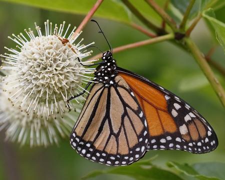 Monarch (Danaus plexippus) nectaring on a Buttonbush flower