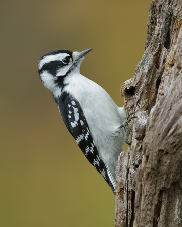 Female Downy Woodpecker (Picoides pubescens) foraging on a dead tree stump - Ontario, Canada