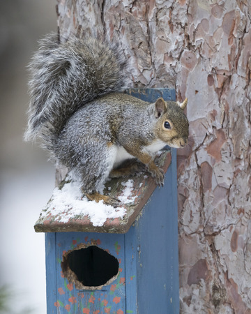 Eastern Gray Squirrel (Sciurus carolinensis) sitting on top of a bird house in winter - Ontario, Canada